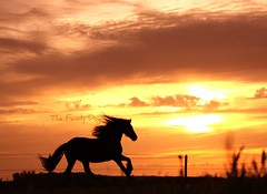 Anthem of the sun (The Family Dog) Tags: sunset horses horse silhouette caballo fries ameland paard paarden frisian friese