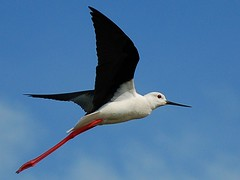 Pernilongo / black-winged stilt (anacm.silva) Tags: portugal aveiro pernilongo himantopushimantopus blackwingedstilt salinasdeaveiro marinhadatroncalhada aveirosalines