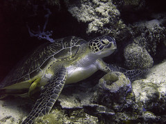 Green Sea Turtle (prssrp) Tags: travel indonesia turtle scuba diving wakatobi 2009 cheloniamydas theworldisbeautiful southeastsulawesi