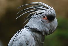 Black palm cockatoo (floridapfe) Tags: black bird face animal zoo nikon close korea palm cockatoo everland blackpalmcockatoo 2voc
