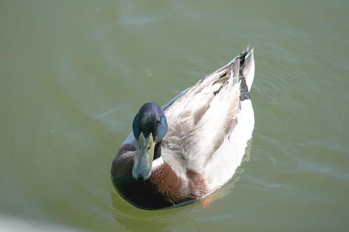 duck in rockport tx