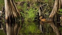 The crossing (_jphayes_) Tags: florida wildlife deer mammals habitats santaferiver naturesfinest coth streamsandrivers supershot specanimal theunforgettablepictures