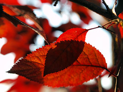 Red (irene gr) Tags: light red summer leaves bokeh olympus explore zuiko e30 43 zd fourthirds 1454mm f2835 zuikodigital 1454mmii irenegr