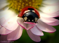 At rest (Sue323 :-)) Tags: pink red summer flower macro green nature canon suomi finland insect eyes maria images ladybird ladybug sue kes kerimki luonto laakso headon kukka hynteinen insectonflower leppkerttu anttola insectphotography easternfinland ladybugface canonpowershota710is marialaakso sue323 laaksoimages