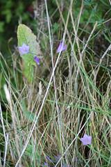 Campanula rotundifolia (Christophe Ramonet) Tags: france flora jura campanulaceae flore harebell campanule franchecomte