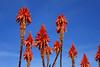 Torres (Pablo O Palmeiro) Tags: flower canon uruguay eos rebel aloe flor colonia d500 coloniadelsacramento kiss3 t1i safarisconporteña