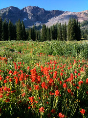 "Indian Paintbrush - Albion Basin, Wasatch Mountains, Utah (IronRodArt - Royce Bair (""Star Shooter"")) Tags: flowers wild mountains forest utah wasatch paint indian meadow brush basin alta paintbrush albion widflowers"