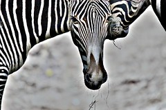 Target Practise Range 120-400mm (mikel.hendriks) Tags: tanzania kenya explore frontpage zebras newlens amersfoortzoo retinex equusgrevyi canoneos50d safaritrip targetpractise serengetiplains grvyszebra sigma120400mmf4556apodgoshsm