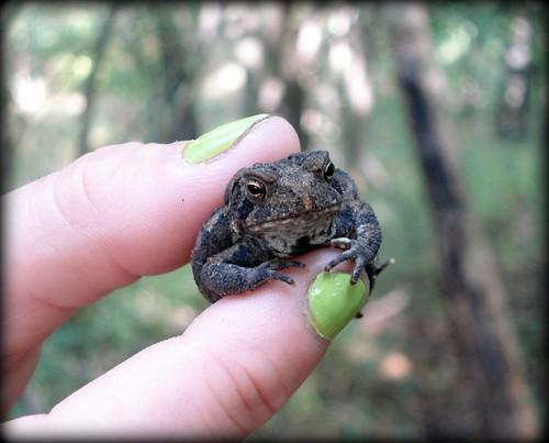 springbrook toad