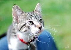 Meet Tegan (Maggggie) Tags: rescue cute cat nikon kitten adorable kitty loved tegan mywinners vanagram