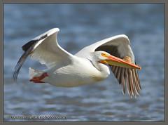 American White Pelican (kootenaynaturephotos.com) Tags: birds bc pelican ducklake americanwhitepelican pelecanuserythronrhynchos
