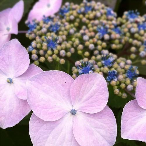紫陽花のきせつです