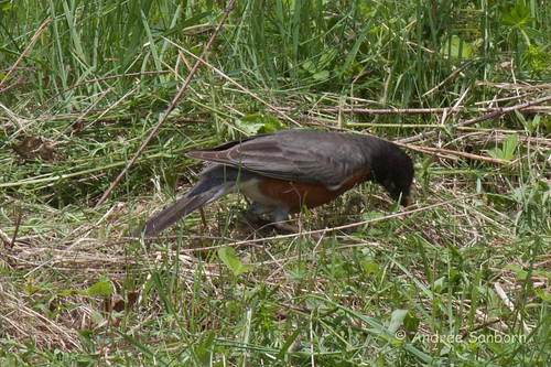 American Robin with worms-5.jpg