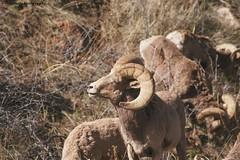JGS_Flkr_wld 6 (jgstott) Tags: nature animals nikon colorado outdoor wildlife bighornsheep d300 jaystott jgstott