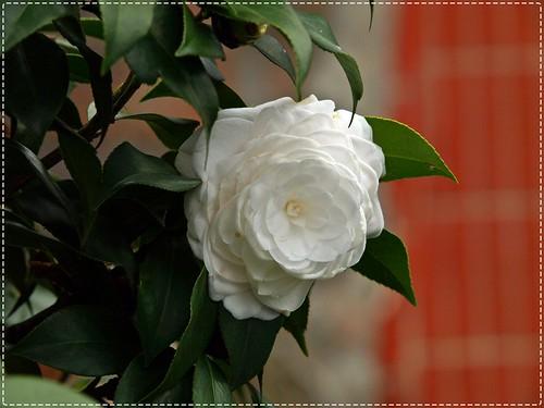 200903 天元宮 Camellia