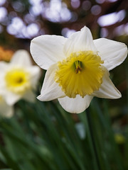 demure (shimmer2) Tags: nature olympus loveit daffodil springtime narcissus fourthirds thamesditton e520