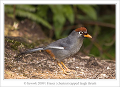 Chestnut-capped Laughingthrush (Garrulax mitratus)