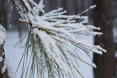 Snow (buddyboy812) Tags: snow tree up pine close zoom needles