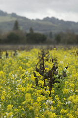 spring mustard (cmacphotography) Tags: california nature spring vines d2x mustard sonomacounty blooms 2009 winemaking healdsburg