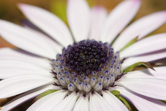 androceo (sergimn) Tags: macro canon eos flor estambre 400d androceo