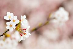 [フリー画像] [花/フラワー] [桜/サクラ]         [フリー素材]