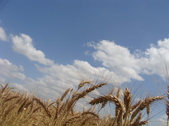 Wheat crop........ready for harvest (Dr. Shahid-Burewala Trekkerz (praying 4 Snow lake)) Tags: pakistan sky yellow clouds golden dr doctor flour shahid wheatcrop iqbal burewala readytocrop