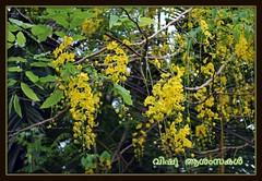 Happy Vishu (Jinson Abraham) Tags: kerala vishu malayalam jins d60 vishukkani konna kanikonna