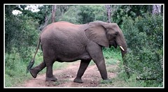 Travessia (Roseli Ronchesi) Tags: elephant nature mammal natureza safari krugerpark elefante savanna mamífero manada áfrica savana paquiderme