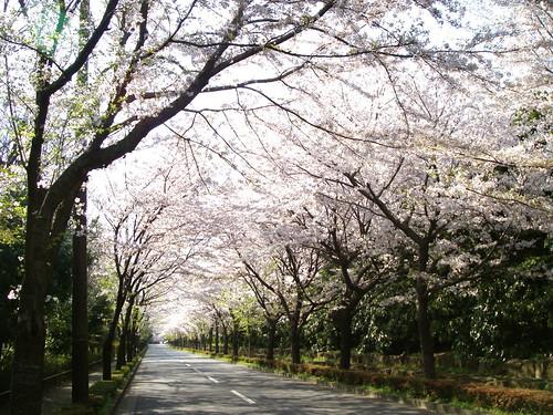 Cherry tree tunnel