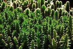 Cactus in pot (KC Toh) Tags: cactus pot melaka 仙人掌 马六甲