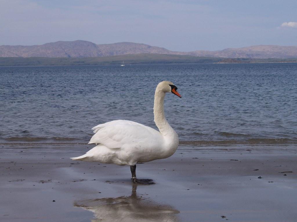 Mute Swan at Ganavan Sands