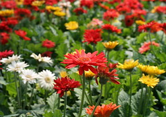 Gerberas galore (Shotaku) Tags: flowers red white flower yellow daisies gerbera daisy multiple asteraceae multicolor gerber annuals africandaisies