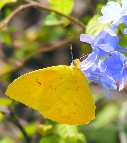 Yellow butterflies pictures