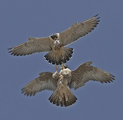 Prey Exchange (Sharpeyesonline) Tags: california flight coastal falcon midair peregrinefalcon tiercel falcoperegrinus splitsecond aboveme foodexchange matingpair anatum nestingbehavior willjamessooter wwwsharpeyesonlinecom preyexchange exploredmay309