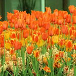 Tulips on Fire thumbnail