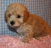 Apricot Maltipoo Female (Texas Maltipoos) Tags: white puppies houston apricot furryfriends tomball maltipoos maltepoos texasmaltipoos