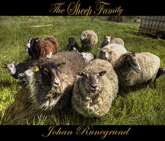 The Sheep Family says Hello (Johan Runegrund) Tags: family wool me grass high nikon sheep farm norden skandinavien horns shave farmer redneck scandinavia curiosity johan tjrn d40 bondgrd abigfave b vosplusbellesphotos johanrunegrund runegrund