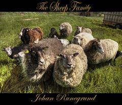 The Sheep Family says Hello (Johan Runegrund) Tags: family wool me grass high nikon sheep farm norden skandinavien horns shave farmer redneck scandinavia curiosity johan tjörn d40 bondgård abigfave bäää vosplusbellesphotos johanrunegrund runegrund