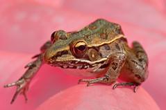 Pretty in Pink (Jeff Clow) Tags: pink macro nature closeup raw texas amphibian frog toad dfw 1exp jeffrclow vosplusbellesphotos