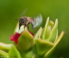 Lift-off (Michael Bandy) Tags: flowers red flower color macro nature nikon dof bokeh bee honeybee redflower studiocity flappingwings beeinflight macroflower nikonmacro d80 nikond80 nikon105mmmacro nikkor105mmf28gvrmicro micronikkor105mmf28afsvrii