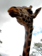 rothschild giraffe (.:exigeante:.) Tags: africa travel kenya international sheldrick rothschildgiraffe ibeauty thevillageexperience wwwexperiencethevillagecom
