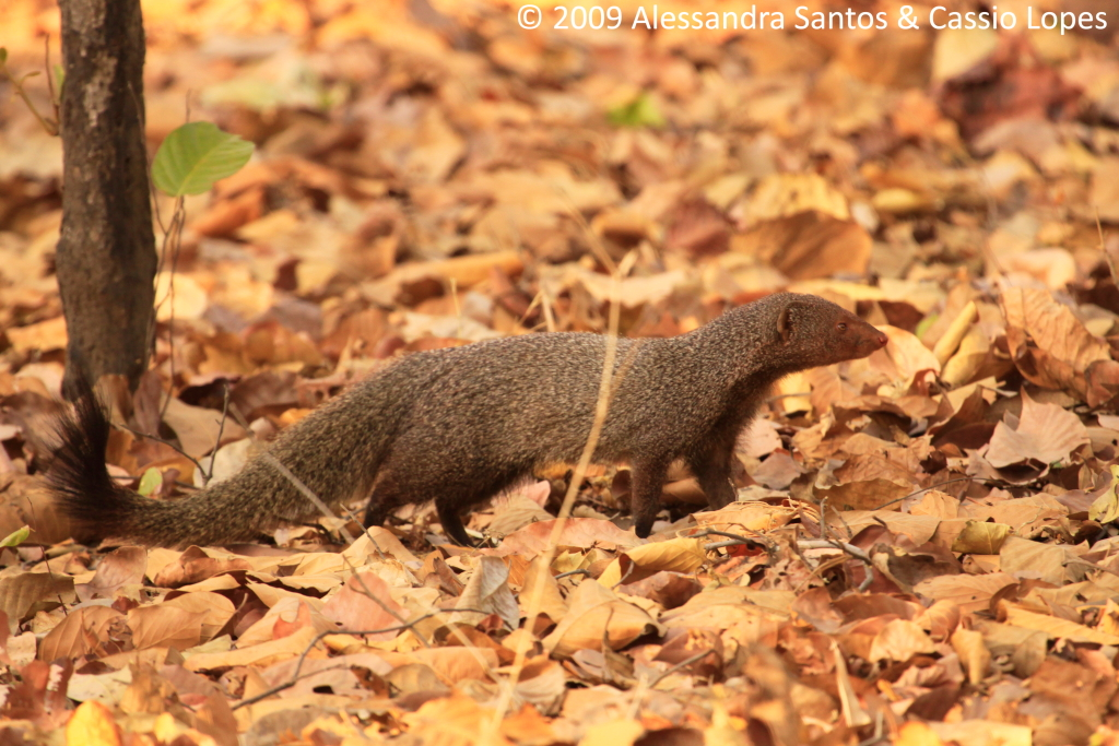 MONGOOSE_MG_1408_F