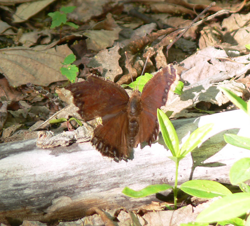 very worn Mourning Cloak