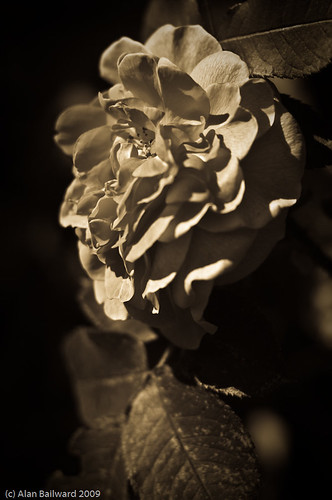Red Flower in Sepia