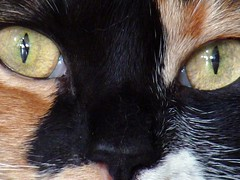 Fudge (danvilar) Tags: orange pet brown white black animal cat fur nose lumix eyes pussy may fudge panasonic whiskers calico maco pring fz28 dmcfz28 panasoniclumixdmcfz28 lumixfz28 panasoniclumixfz28 danvilar