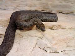 Narrowhead Garter Snake