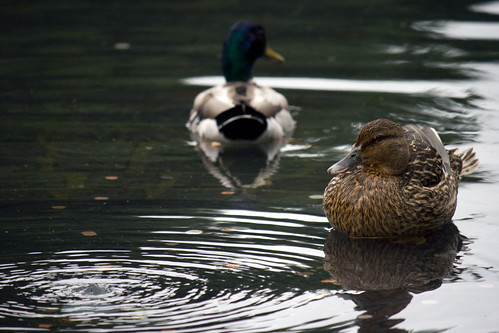 Ducks in the Reflecting Pool