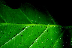 Clorofila (Doc Albores) Tags: verde méxico hojas gotas durango lerdo docalbores