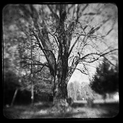 The trees are whispering to me, reminding me of my roots, and my reach... shhhhhh... can you hear them?  Selflessly sharing their subtle song.  ~Jeb Dickerson (bford13) Tags: blackandwhite tree duaflexii hugetree throughtheviewfinder realttv bford13 mondayphotochallenge
