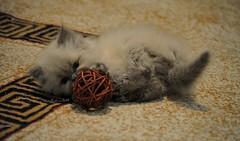 Baby Alex (Alexsandr .Gray) Tags: baby cat kitten fatma doha qatar قطر ماي الدوحه قطه قط fa6ma قطوه leaxy ليكسي